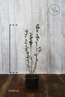 Wintergrüner Liguster 'Atrovirens' Topf 20-40 cm
