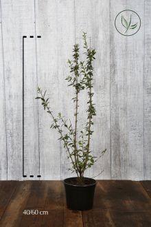 Wintergrüner Liguster 'Atrovirens' Topf 40-60 cm