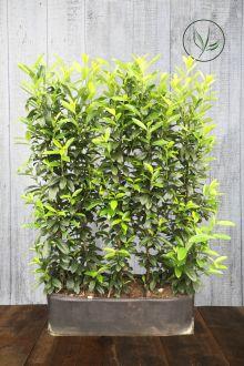 Kirschlorbeer 'Genolia'® Fertig-Hecken 160-170 cm Fertig-Hecken
