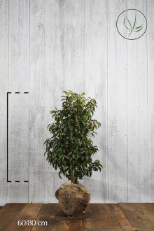 Portugiesischer Kirschlorbeer  Wurzelballen 60-80 cm Extra Qualtität
