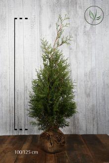 Lebensbaum 'Brabant' Wurzelballen 100-125 cm Extra Qualtität