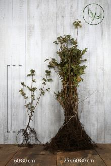 Feldahorn Wurzelware 60-80 cm