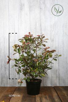 Glanzmispel 'Red Robin' Topf 60-80 cm Extra Qualtität