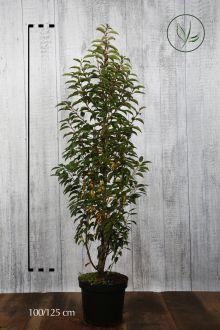 Portugiesischer Kirschlorbeer  Topf 100-125 cm Extra Qualtität