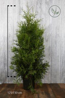 Lebensbaum 'Brabant' Topf 125-150 cm Extra Qualtität