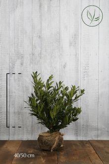 Breitwüchsiger Kirschlorbeer  Wurzelballen 40-50 cm