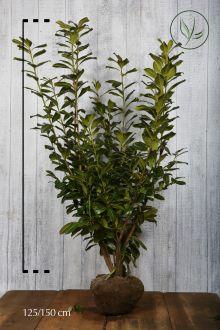Kirschlorbeer 'Novita' Wurzelballen 125-150 cm Extra Qualtität