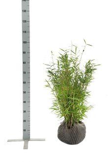 Mähnenbambus  Wurzelballen 60-80 cm