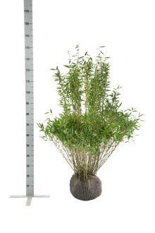 Mähnenbambus  Wurzelballen 100-125 cm