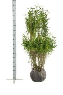 Mähnenbambus  Wurzelballen 125-150 cm