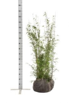 Jadebambus Wurzelballen 100-125 cm