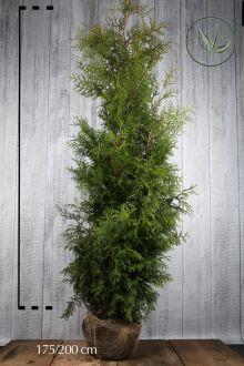 Lebensbaum 'Brabant' Wurzelballen 175-200 cm Extra Qualtität