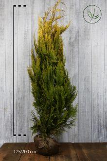 Gelbe Scheinzypresse Wurzelballen 175-200 cm