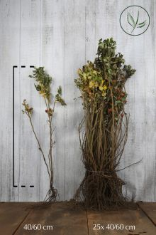 Kartoffelrose - Apfelrose Wurzelware 40-60 cm
