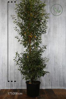 Portugiesischer Kirschlorbeer  Topf 175-200 cm Extra Qualtität
