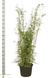 Jadebambus Topf 125-150 cm