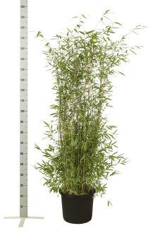 Fontänenbambus Topf 125-150 cm
