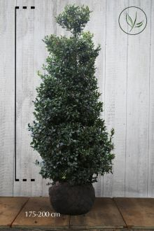 Stechpalme 'Blue Maid' Wurzelballen 175-200 cm Extra Qualtität