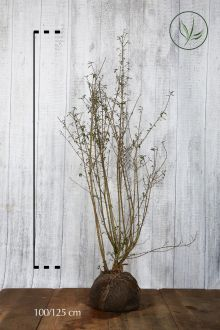 Wintergrüner Liguster 'Atrovirens' Wurzelballen 100-125 cm
