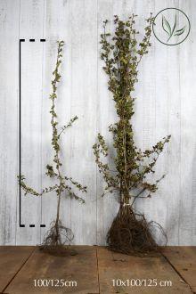 Eingriffeliger Weißdorn  Wurzelware 100-125 cm