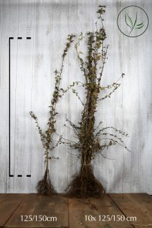 Eingriffeliger Weißdorn  Wurzelware 125-150 cm