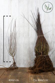 Niedrige Purpur-Weide  Wurzelware 40-60 cm