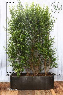 Ovalblättriger Liguster  Fertig-Hecken 170-180 cm Fertig-Hecken