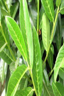 Kirschlorbeer 'Genolia'® Wurzelware 40-60 cm