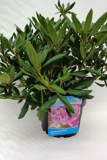 Rhododendron 'Roseum Elegans' Topf 40-50 cm Extra Qualtität