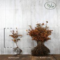 Rotbuche  Wurzelware 40-60 cm Premium Qualität