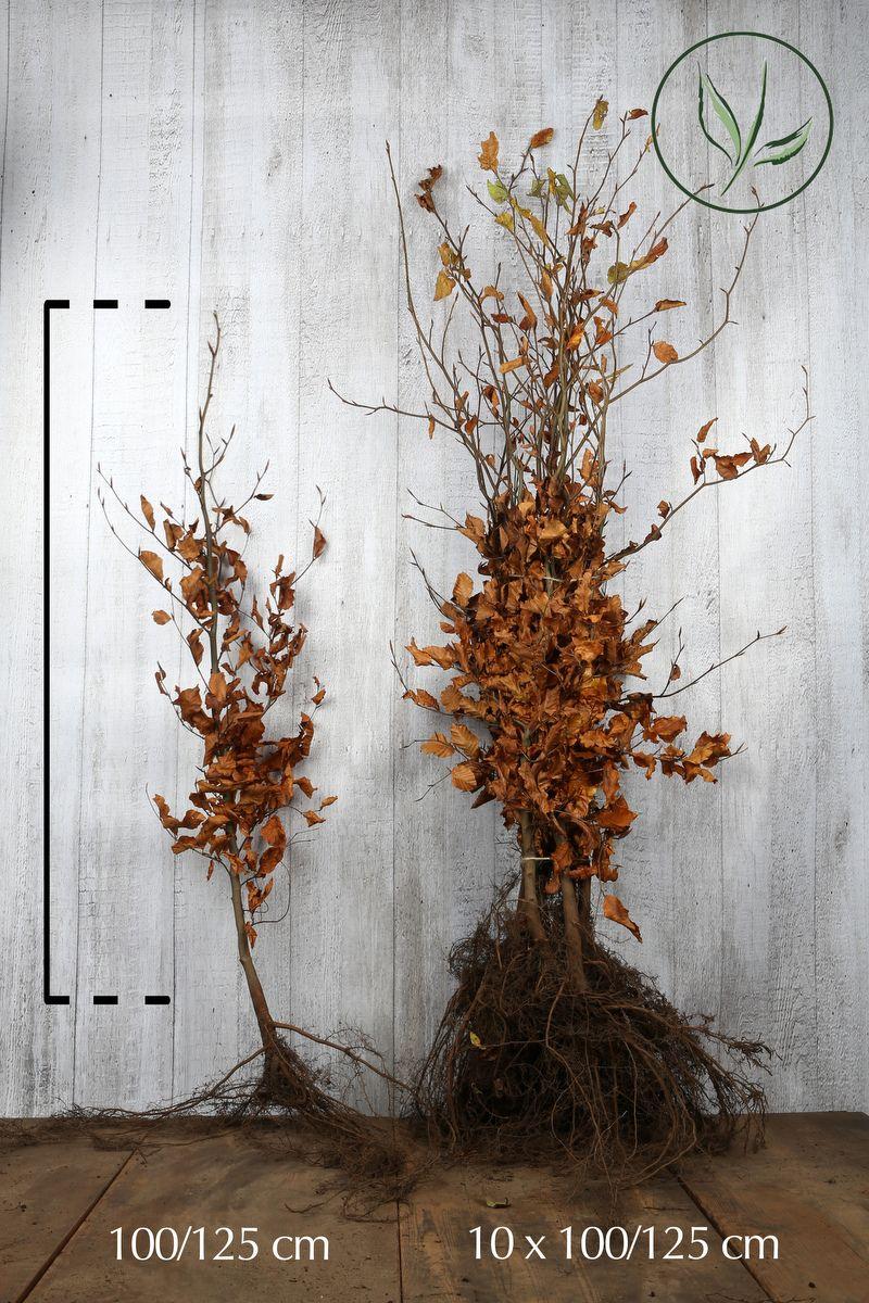 Rotbuche  Wurzelware 100-125 cm