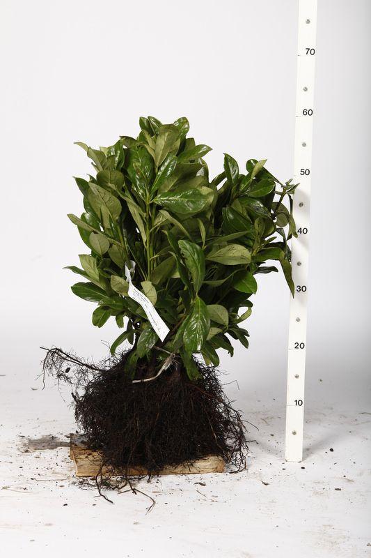 Kirschlorbeer 'Etna'  Wurzelware 25-30 cm