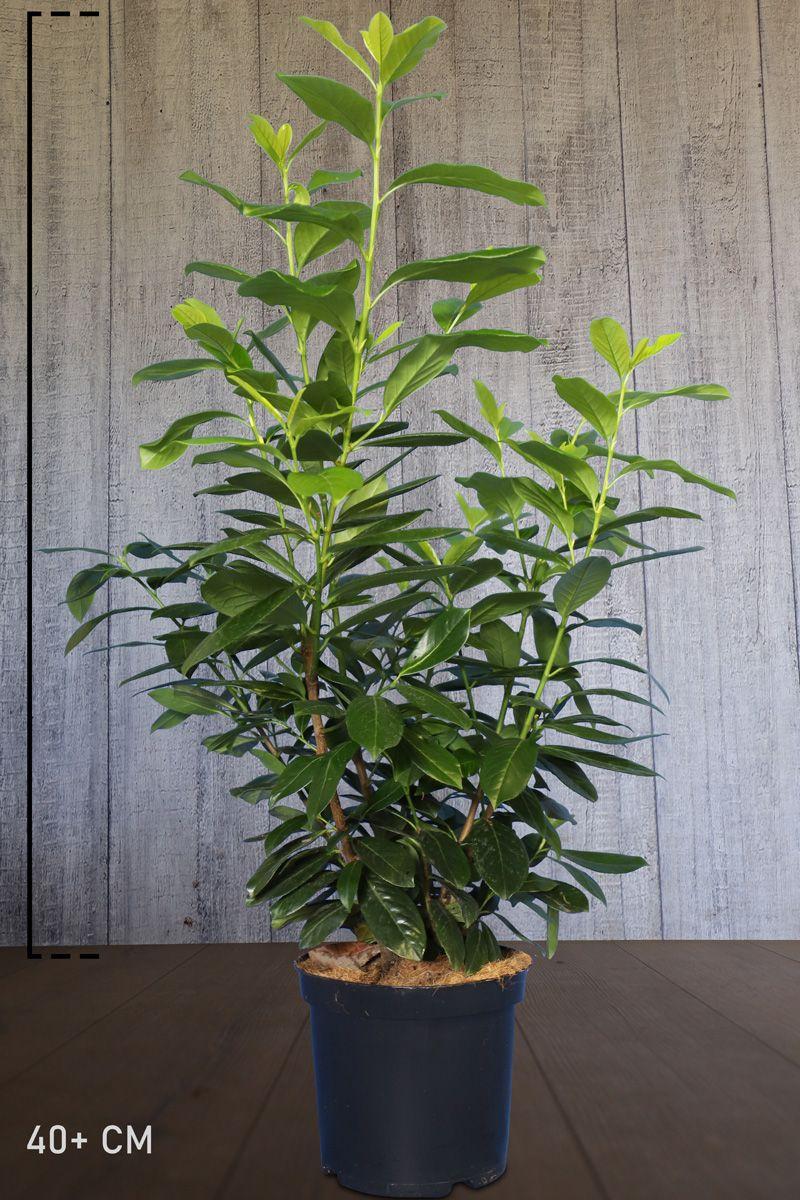 Kirschlorbeer 'Novita' Topf 60-80 cm