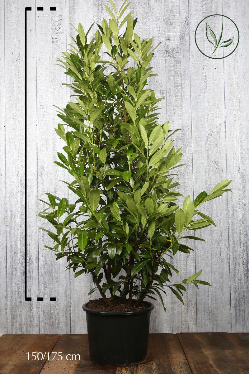 Kirschlorbeer 'Caucasica'  Topf 150-175 cm Extra Qualtität