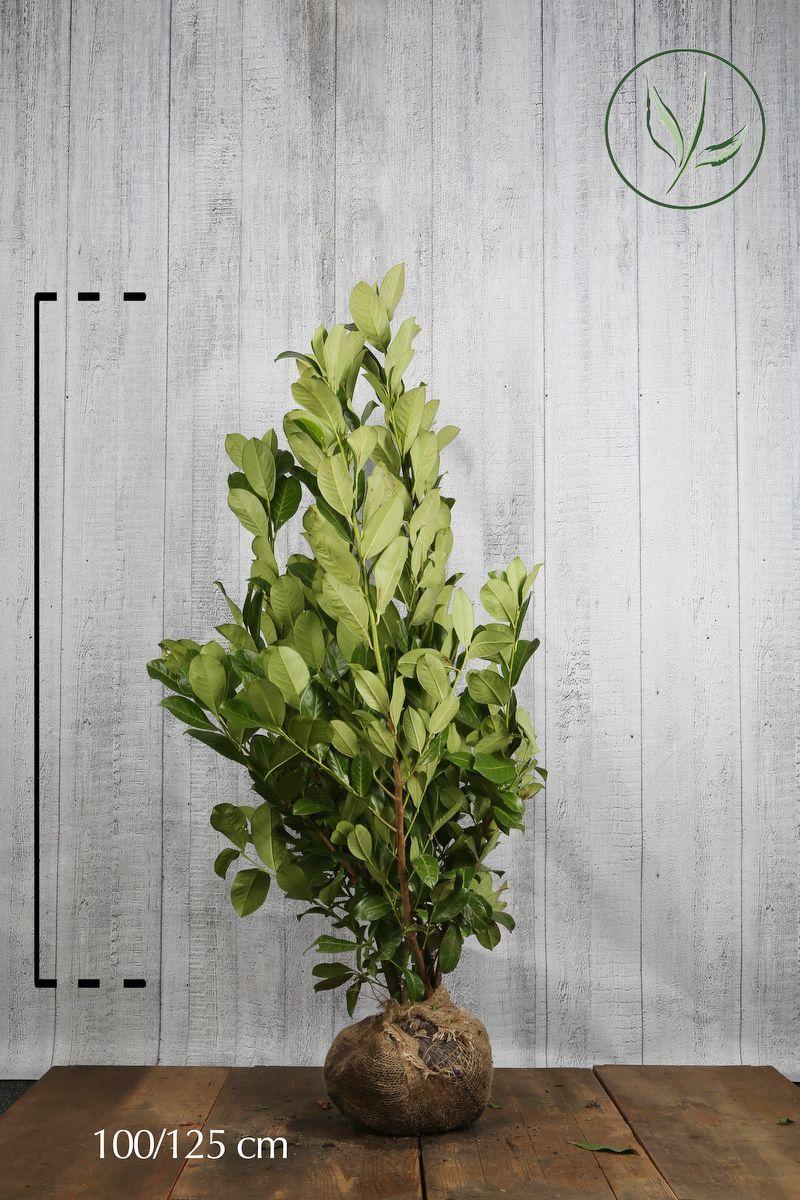 Großblättriger Kirschlorbeer  Wurzelballen 100-125 cm Extra Qualtität