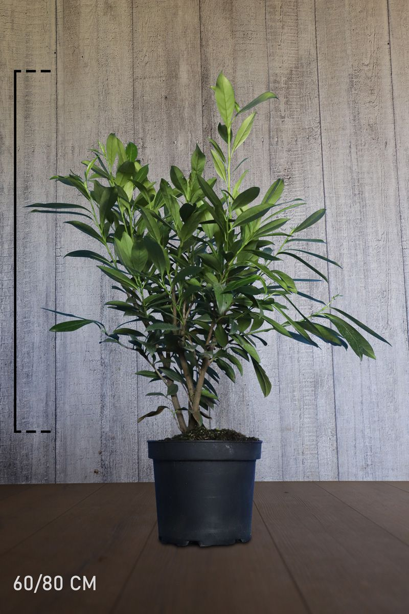 Kirschlorbeer 'Caucasica'  Topf 60-80 cm