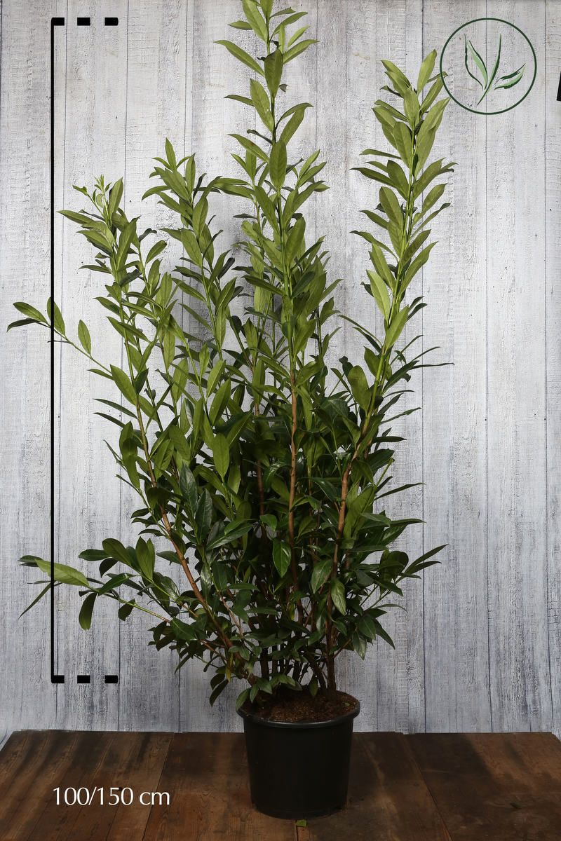 Kirschlorbeer 'Caucasica'  Topf 125-150 cm