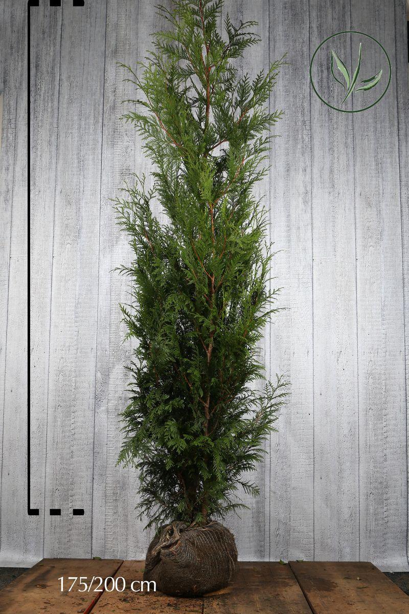 Lebensbaum 'Martin' Wurzelballen 175-200 cm