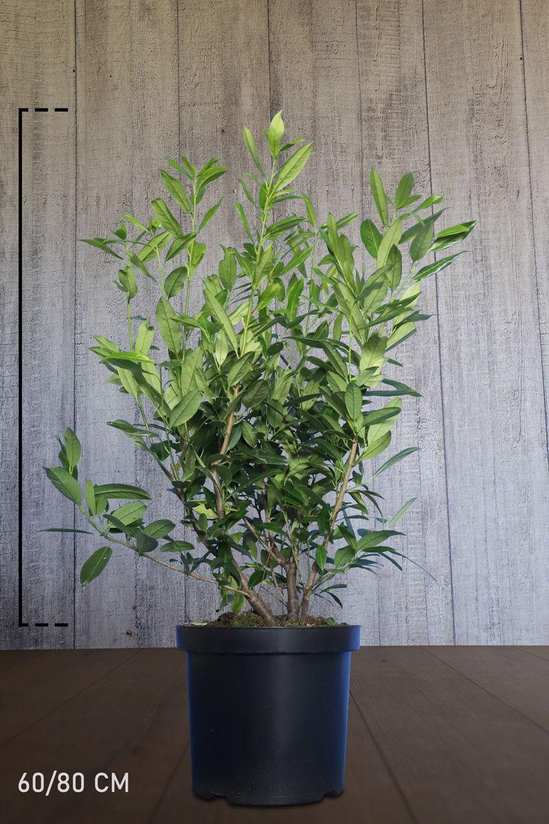 Kirschlorbeer 'Herbergii' Topf 60-80 cm Extra Qualtität