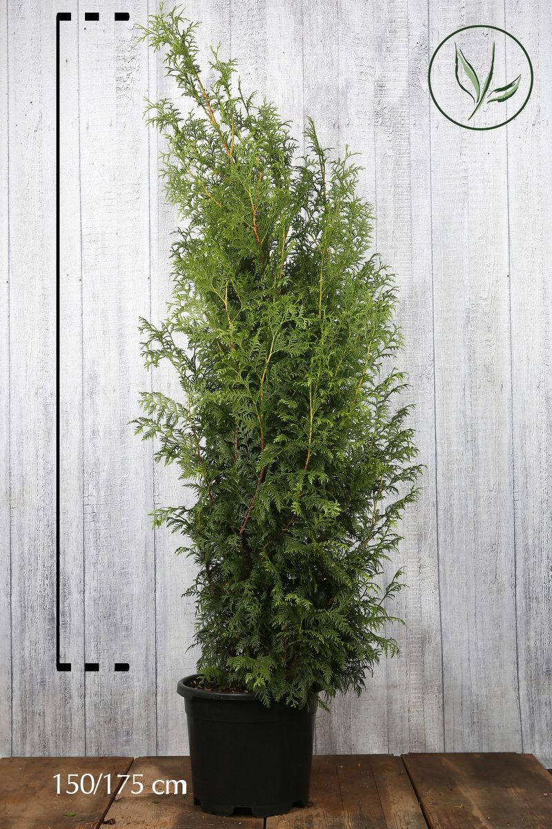 Lebensbaum 'Excelsa' Topf 150-175 cm Extra Qualtität