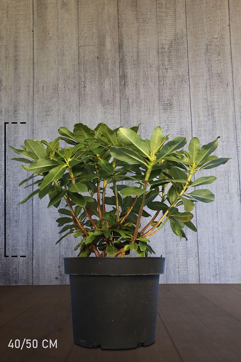 Rhododendron 'Horizon Monarch'  Topf 40-50 cm Extra Qualtität