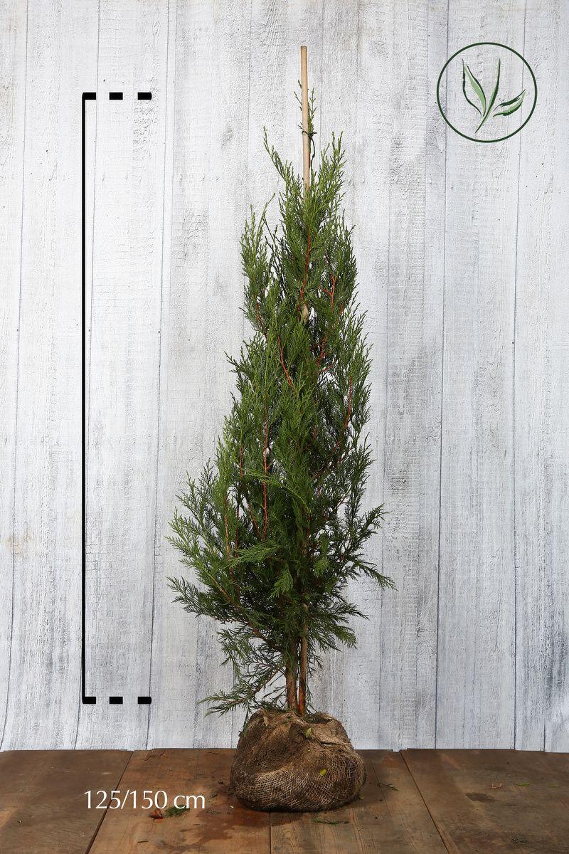 Grüne Leyland-Zypresse Wurzelballen 125-150 cm