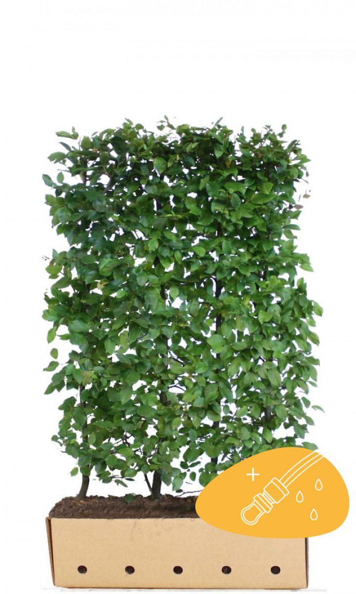 Hainbuche, Weißbuche  Fertig-Hecken 150 cm Fertig-Hecken