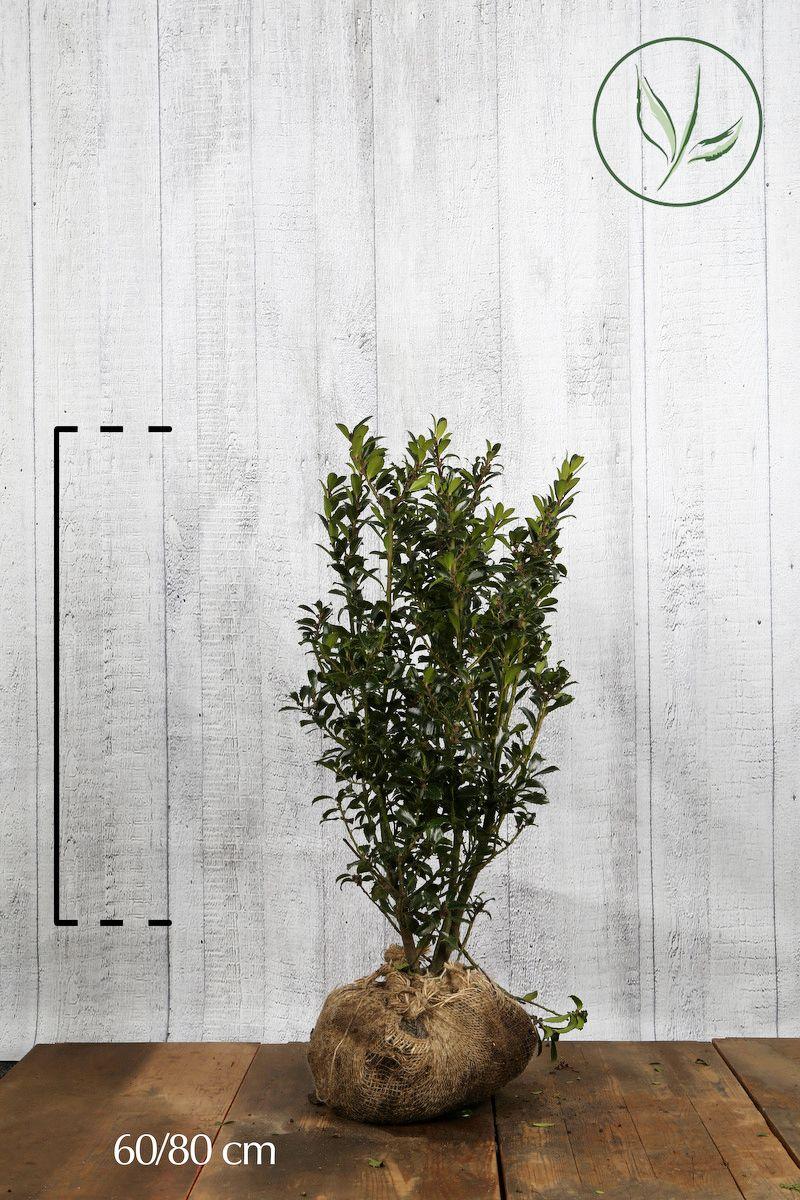 Stechpalme 'Heckenpracht'  Wurzelballen 60-80 cm