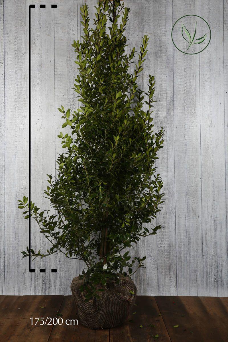 Stechpalme 'Heckenpracht'  Wurzelballen 175-200 cm