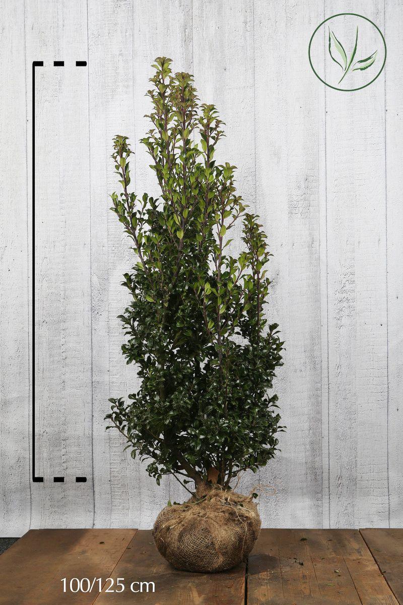 Stechpalme 'Heckenstar' Wurzelballen 100-125 cm