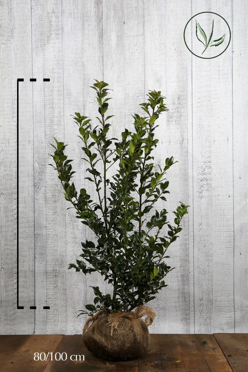 Stechpalme 'Blue Maid' Wurzelballen 80-100 cm