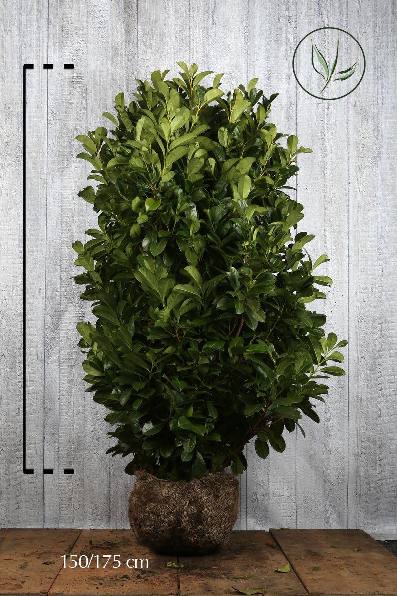Kirschlorbeer 'Etna'  Wurzelballen 140-160 cm Extra Qualtität