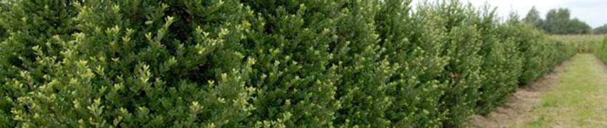 Berg-Ilex 'Dark Green'®: die Vorteile