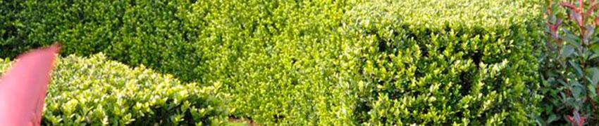 Mehr über den Berg-Ilex 'Dark Green'®